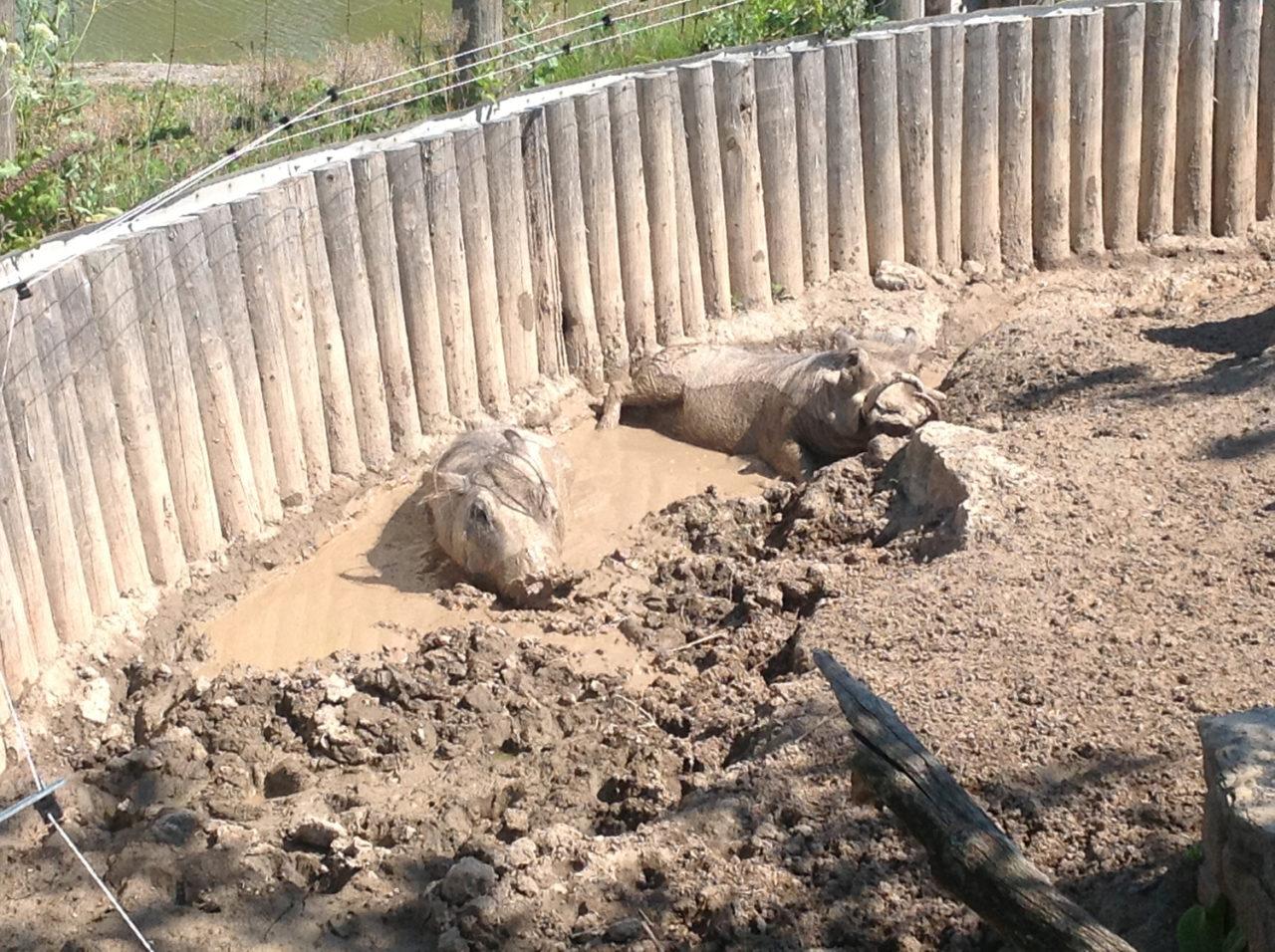 Safari Niagara warthogs